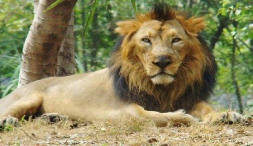 INDIA – The Asiatic lion