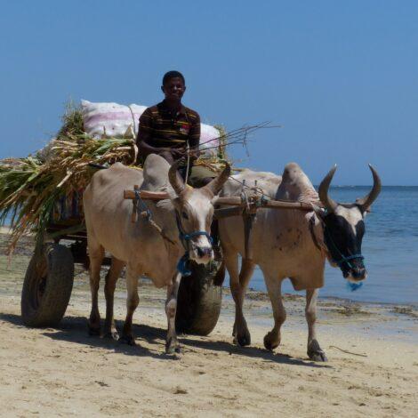 MADAGASCAR – Lo Zebù
