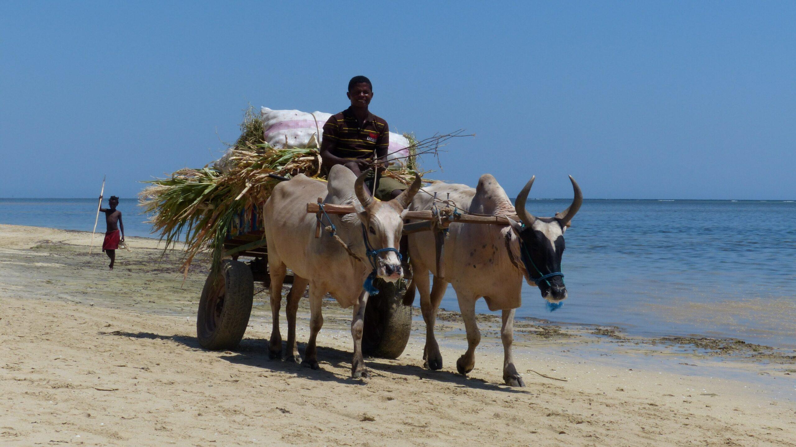MADAGASCAR – The Zebu